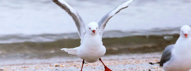 seagull raising wings on beach